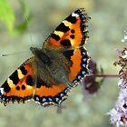 Flitting Fritillary in Peebles Garden by rosie320d