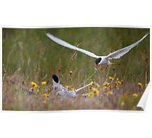 Arctic terns, Eastern Iceland Poster