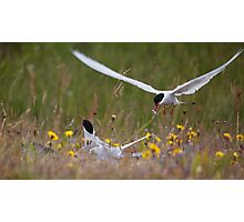 Arctic terns, Eastern Iceland Photographic Print