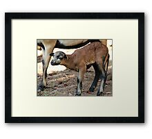 Cameroon Baby Sheep Framed Print