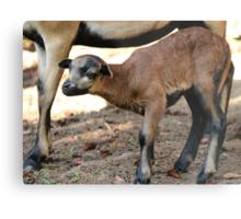 Cameroon Baby Sheep Metal Print