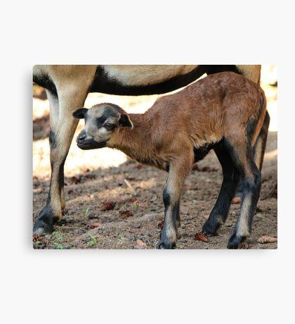 Cameroon Baby Sheep Canvas Print