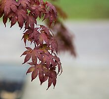 Japanese Maple After Rain by William Helms