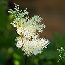 Meadowsweet  by Susie Peek