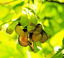 Sycamore Seeds - Acer Pseudoplatanus by Susie Peek