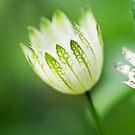 Little White Flowers by Susie Peek