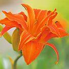 Tiger Lilies - Lilium bulbiferum by Susie Peek