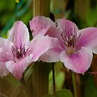 Pink Fantasy Clematis by Gilberte