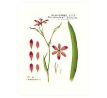 Botanical Illustration - Blackberry Lily Art Print