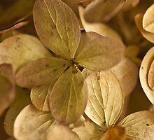Hydrangea Petals - Macro  by Sandra Foster