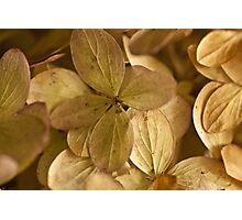 Hydrangea Petals - Macro  Photographic Print