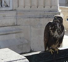 Falcon in Europe by Charlotte Martina