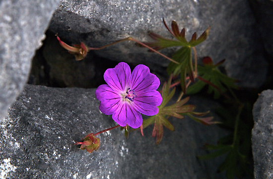 Bloody Cranesbill, Dun Aengus, Inishmore by George Row