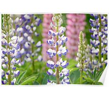 Lovely Lupines Poster