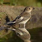 Pied Flycatcher (Ficedula hypoleuca) by Peter Wiggerman