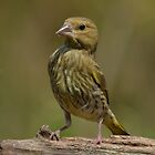 Greenfinch (Carduelis chloris) by Peter Wiggerman
