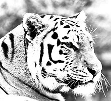 Tiger in high key by missmoneypenny