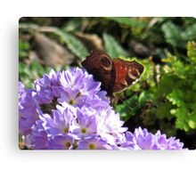 Peacock Butterfly on Drumstick Primroses Canvas Print