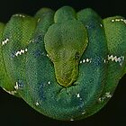 Emerald Tree boa by serpentscales