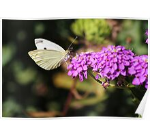 White Cabbage Butterfly Poster