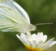 White Cabbage Butterfly II Sticker