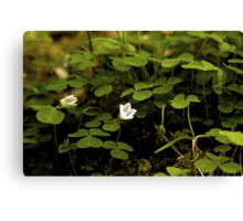 Wood Sorrel, Ness Woods, County Derry Canvas Print