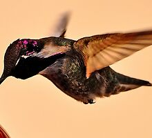 BABY MALE HUMMINGBIRD ANNA'S SIPPING NECTAR by JAYMILO