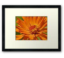Orange Zinnia Framed Print