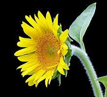 Small Sunflower by Susan S. Kline