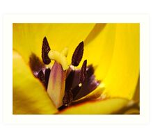 Macro red edged Picotee yellow Tulip Art Print