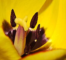 Macro red edged Picotee yellow Tulip by MrBennettKent