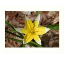 yellow and white daffodil Art Print