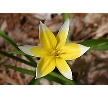 yellow and white daffodil Photographic Print