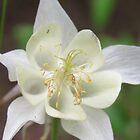 Columbine Flower by MaeBelle