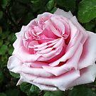 Serene Rose by MidnightMelody