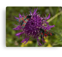 "Greater Knapweed with ""6-spot Burnet"" Moths Canvas Print"