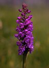 Fragrant Orchid, Dun Eochla, Inishmore by George Row