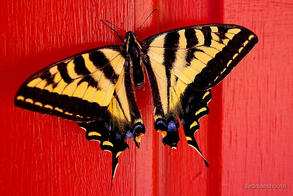 tiger swallowtail butterfly on unusual background by dedmanshootn