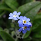forget-me-not by Floralynne