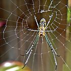 Garden Orb Spider by Graeme  Hyde