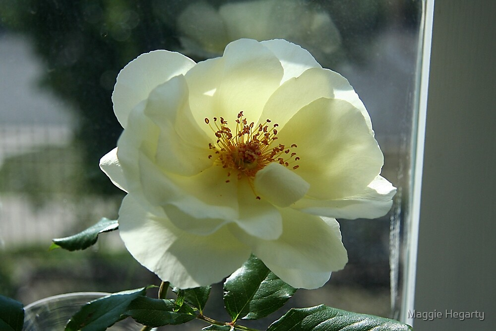 Pamela's rose by Maggie Hegarty