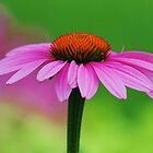 Pink Coneflower by ANNABEL   S. ALENTON