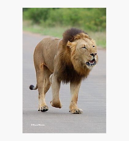 RESPECT WITHOUT CHOICE - THE LION - Panthera leo - LEEU Photographic Print