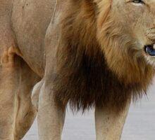 RESPECT WITHOUT CHOICE - THE LION - Panthera leo - LEEU Sticker