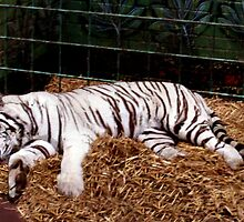 Sleeping tiger by missmoneypenny
