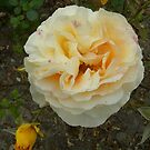 A Beautiful Rose. by Kay Cunningham