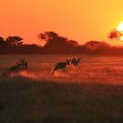 Springbok - African Wildlife Background - Magnificent Sun by LivingWild