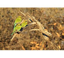 Bee-eater - African Wild Birds - Colorful Friends Photographic Print