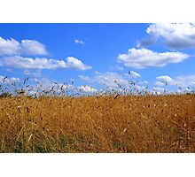 Wheat Field in Country with Open Blue Sky and Clouds Photographic Print