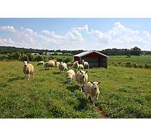 Sheep Farm Photographic Print